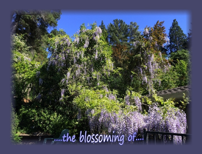 Wisteria the blossoming of...abundant blossoms